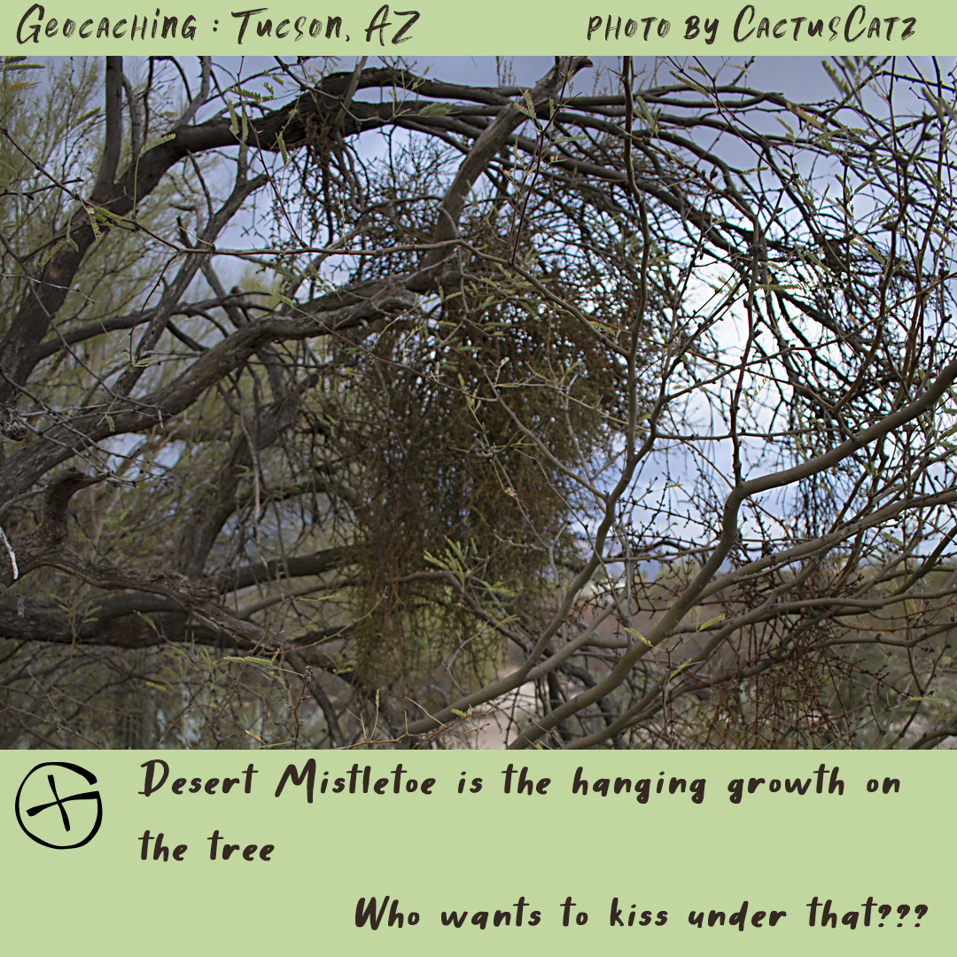 Geocaching in Tucson : desert mistletoe