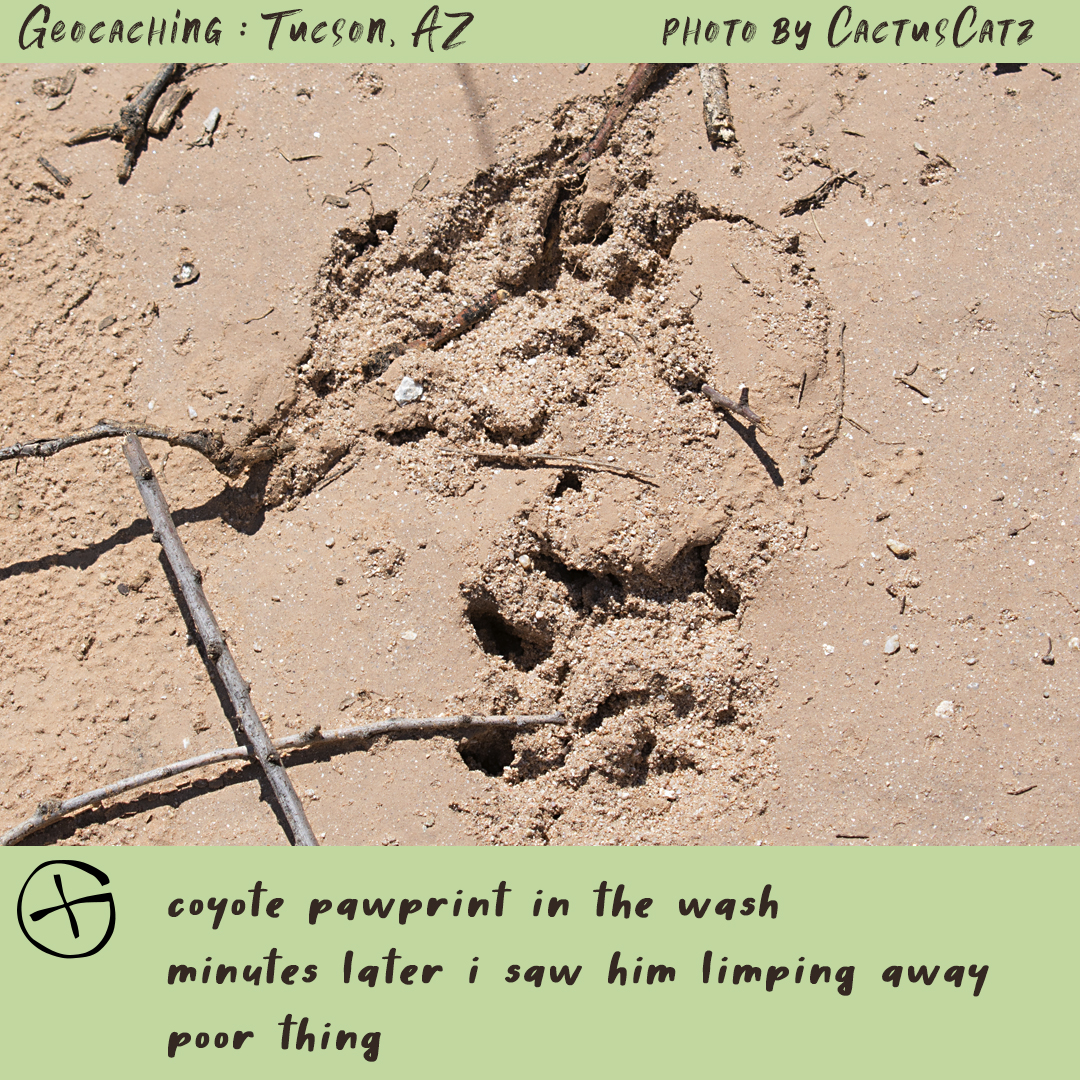Geocaching in Tucson : coyote prints