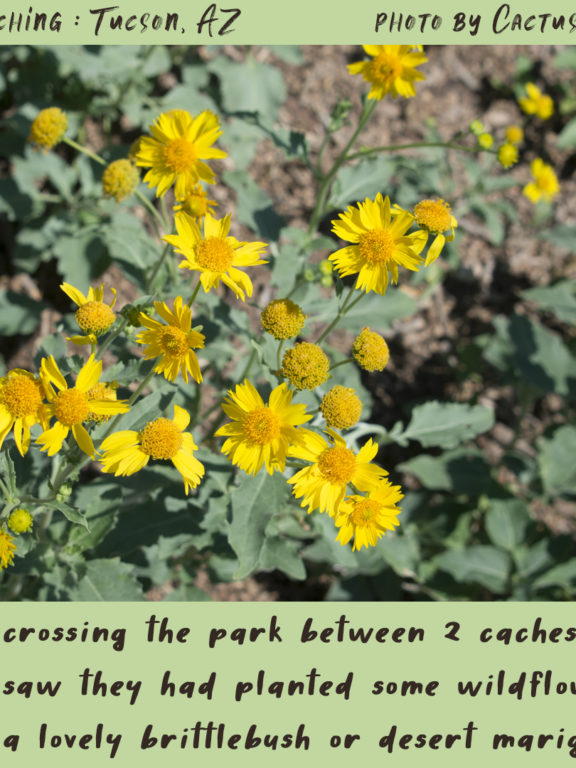 Geocaching in Tucson : Wildflowers